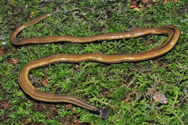 how to get rid of hammerhead worms