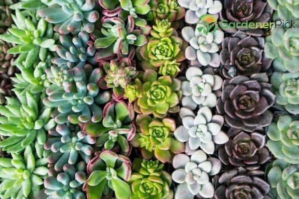 how long does it take to succulent grow