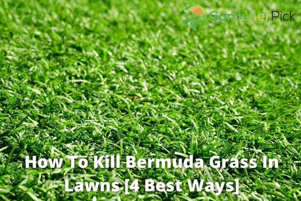 how to kill bermuda grass in your lawns