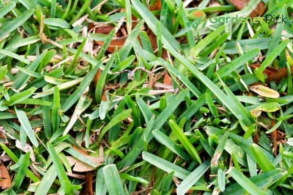 how to make st. augustine grass