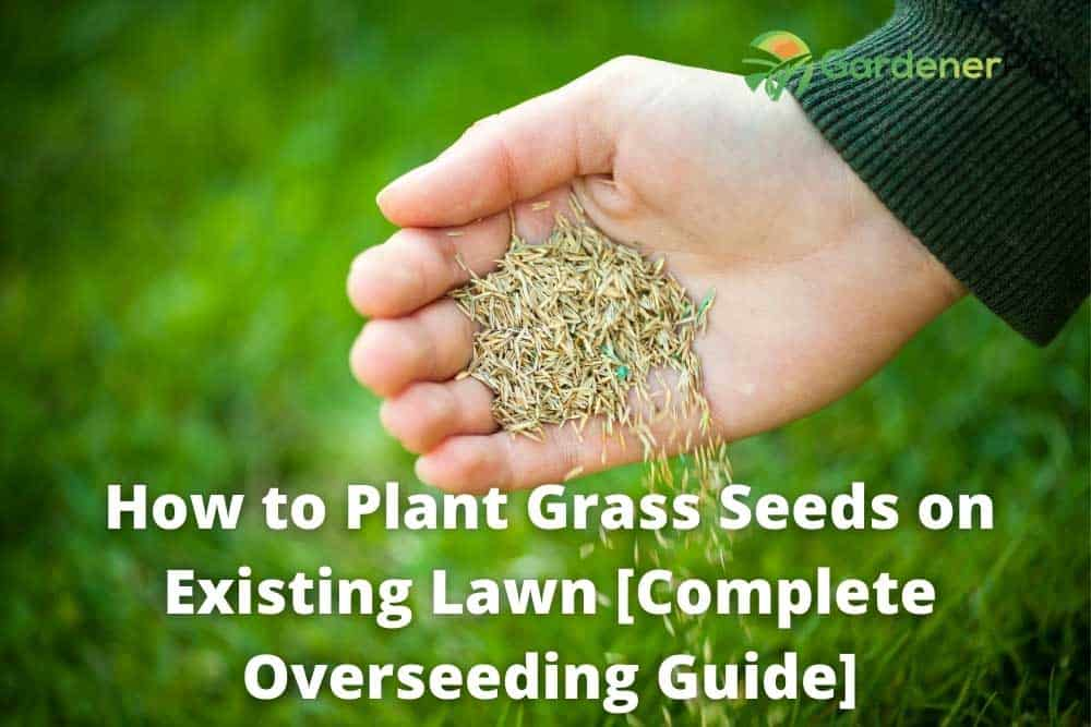 how to plant grass seeds on existing lawn