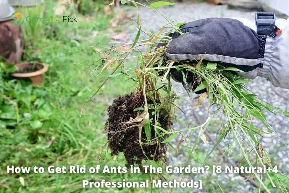 how to get rid of ants in the garden